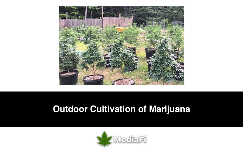 Outdoor Cultivation of Marijuana
