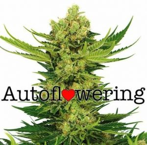 Cheese Autoflower