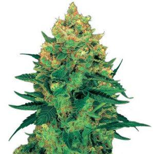 Hash Plant